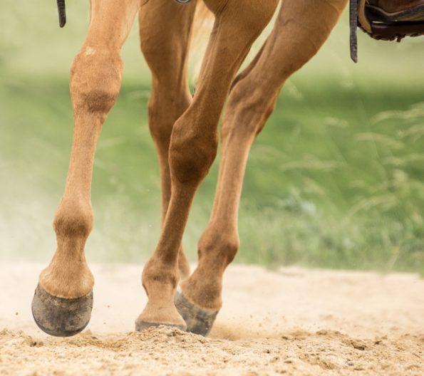 Sehnen beim Pferd